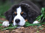 Lovely Bernese Mountain Dog