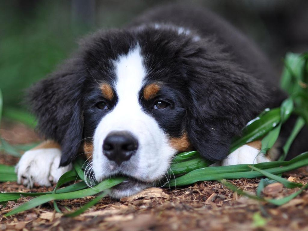 lovely bernese mountain dog photo and wallpaper beautiful lovely bernese mountain dog pictures