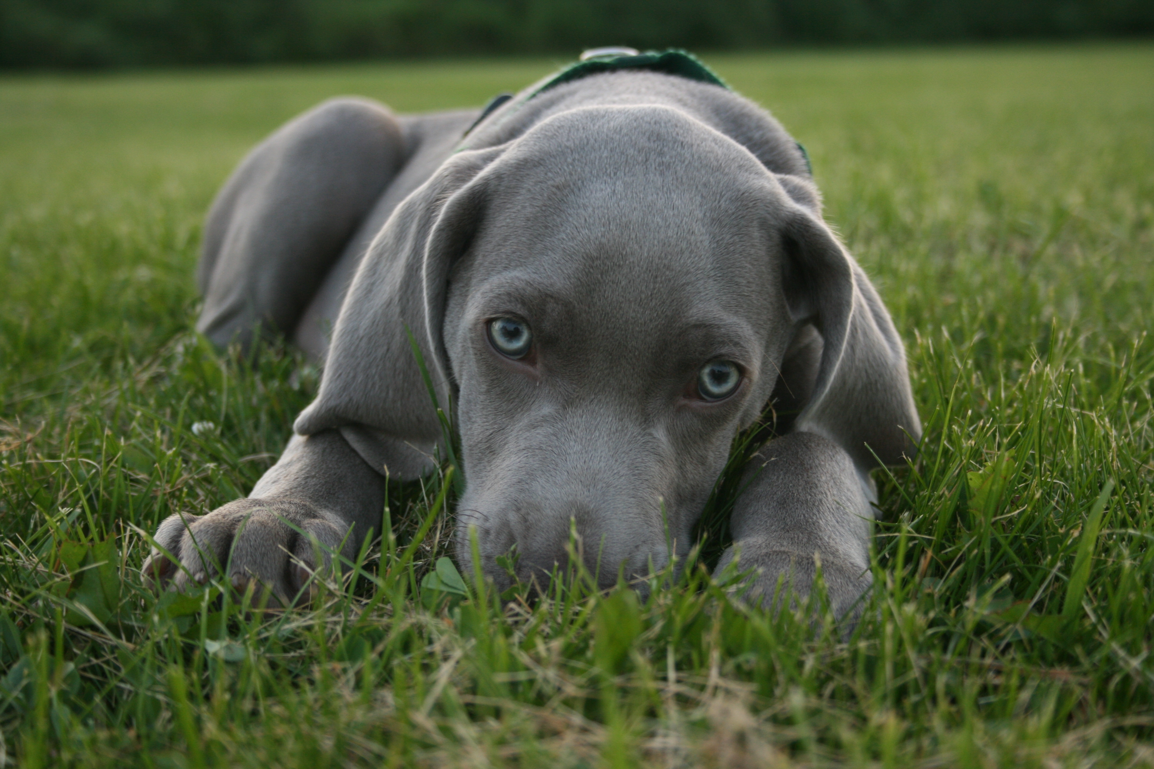 Add photos Lovely blue-eyed Weimaraner dog in your blog: