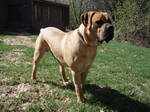 Lovely Boerboel dog