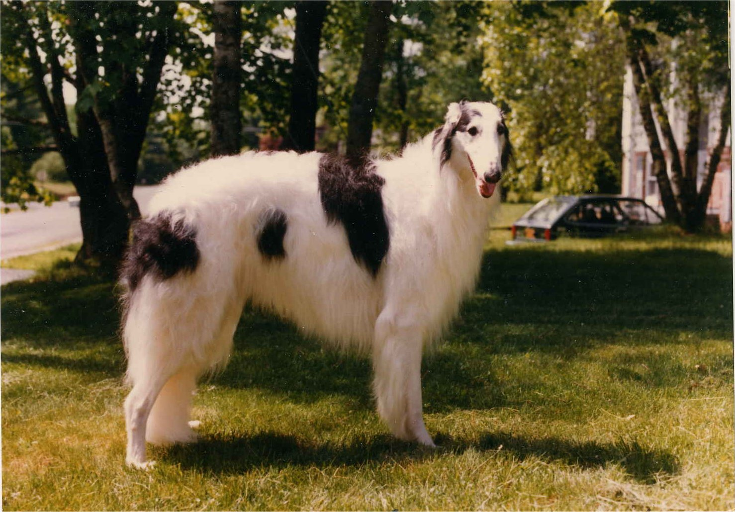 Lovely Borzoi dog wallpaper