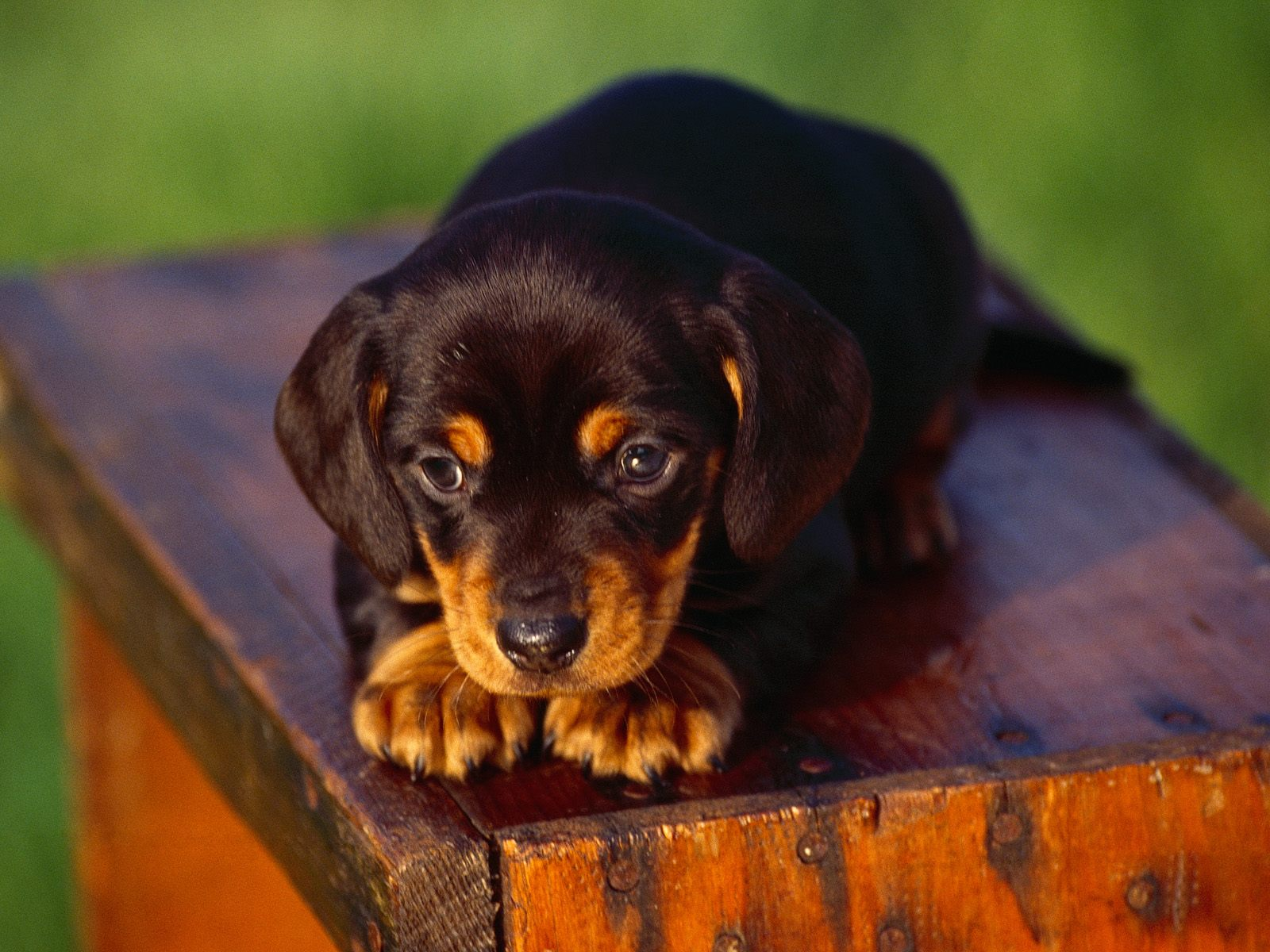 Lovely Bosnian Coarse-haired Hound puppy wallpaper