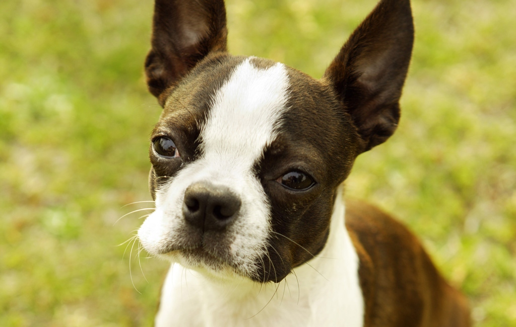 Lovely Boston Terrier dog wallpaper