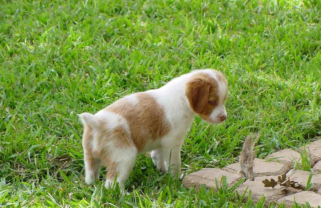 Милый щенок бретонского эпаньола фото
