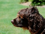 Lovely brown Boykin Spaniel