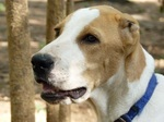 Lovely Bully Kutta dog