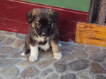 Lovely Carpathian Shepherd puppy