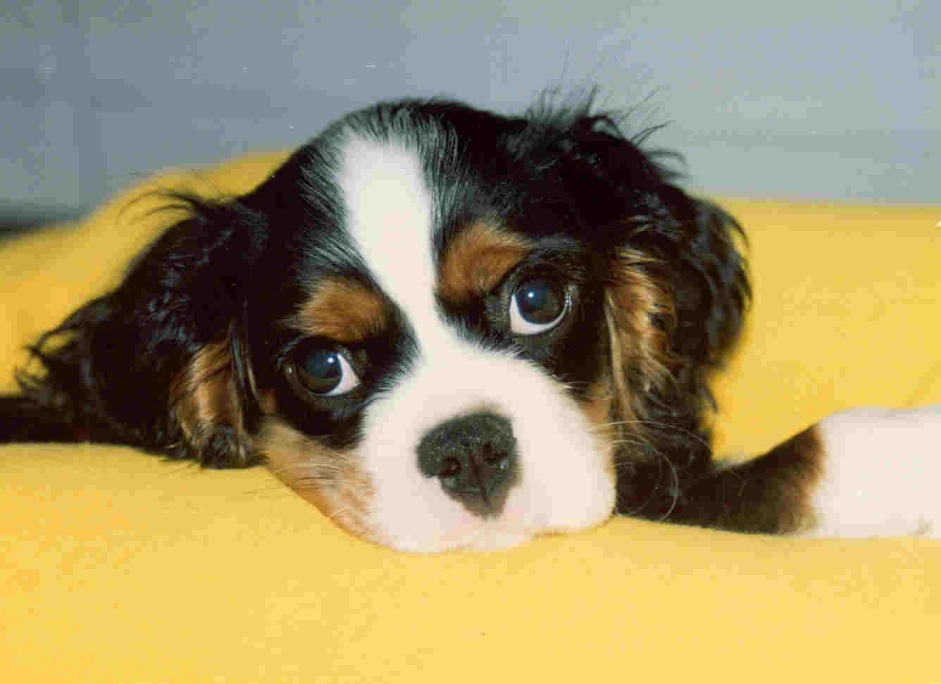 Cute Cavalier King Charles Spaniel dog wallpaper