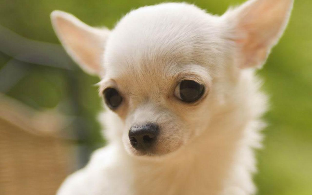 Lovely Chihuahua dog wallpaper