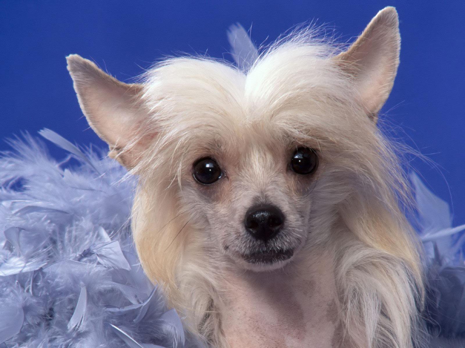 Очаровательная китайская хохлатая собака на голубом фоне фото