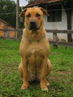 Lovely Cimarrón Uruguayo dog