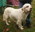 Lovely Clumber Spaniel dog