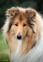 Lovely Collie Rough dog