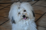 Lovely Coton de Tulear dog girl