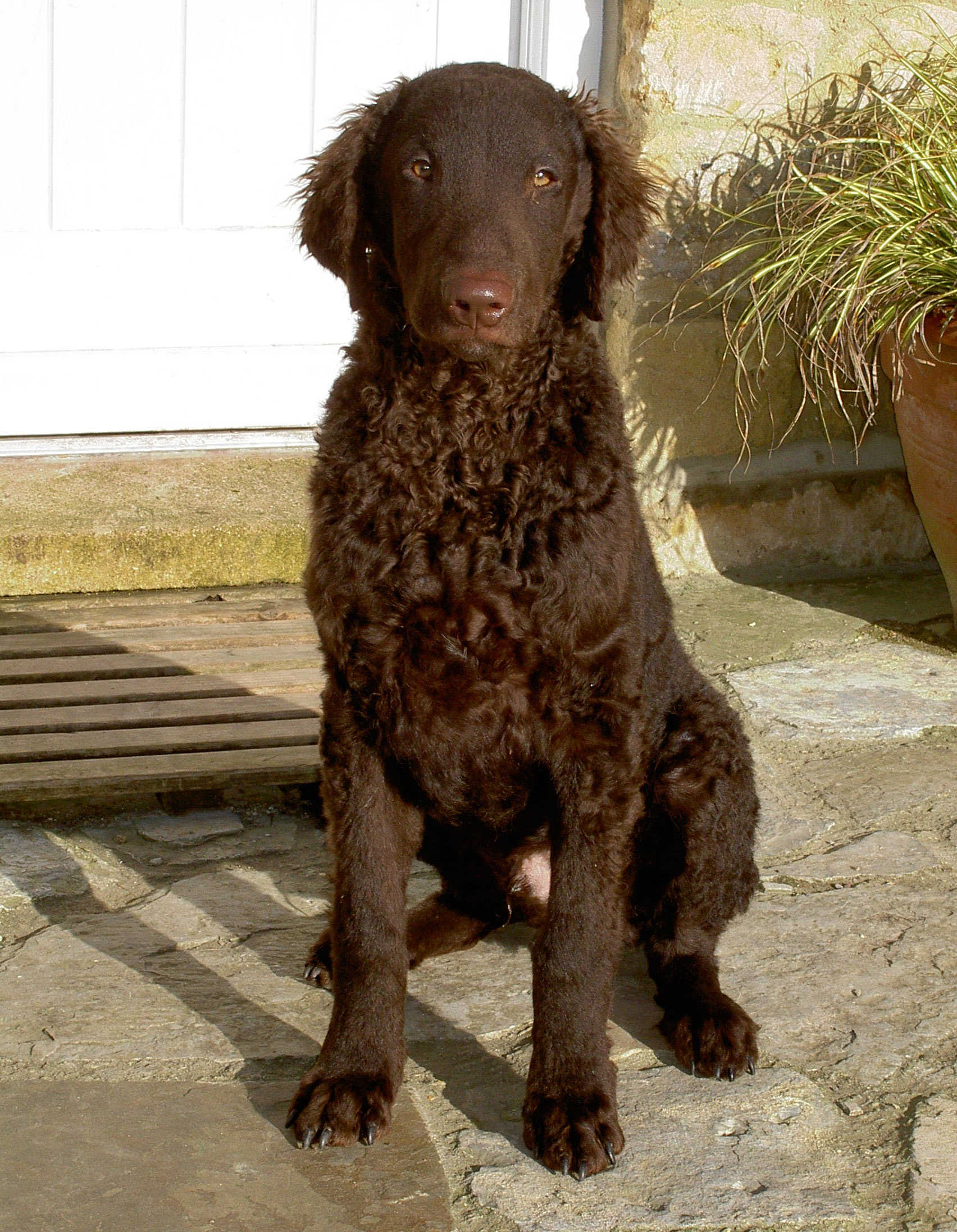 Lovely Curly Coated Retriever wallpaper