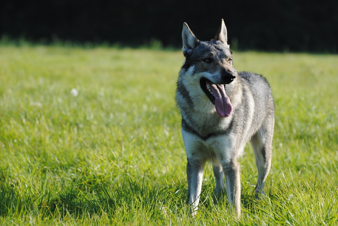 Lovely Czechoslovak Wolfdog dog wallpaper