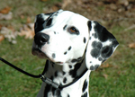 Lovely Dalmatian dog