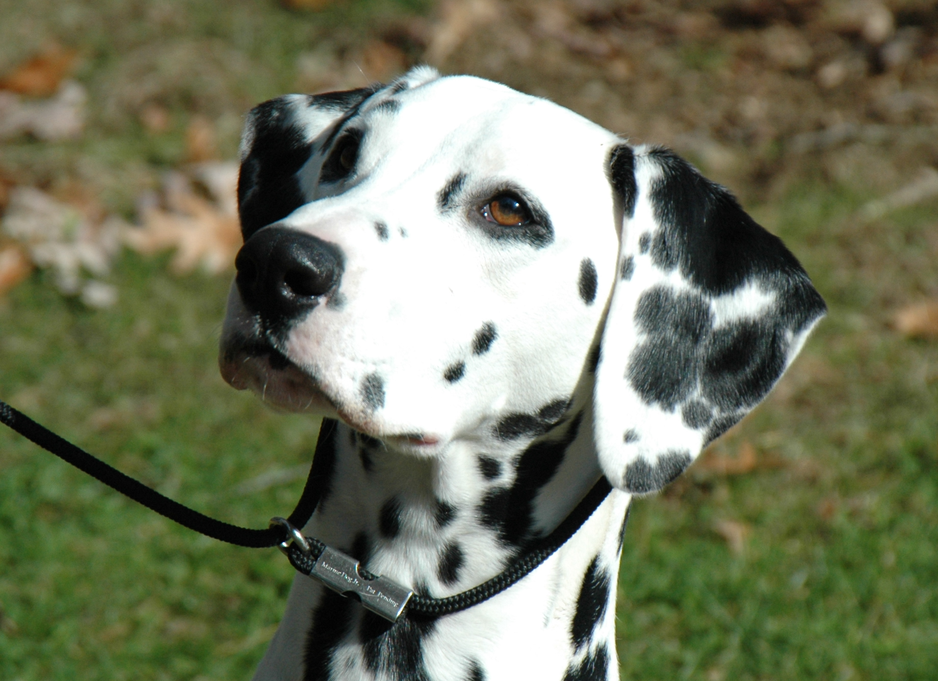 Lovely Dalmatian dog  wallpaper