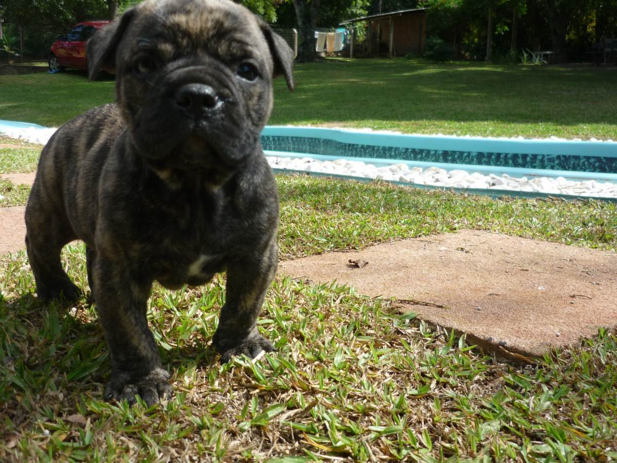 Милый темный щенок бульдога кампейро фото