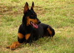 Lovely Doberman Pinscher dog