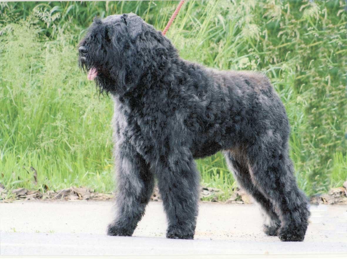 Очаровательная собака фландрский бувье фото