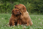 Lovely Dogue de Bordeaux puppies