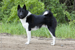 Lovely East Siberian Laika dog