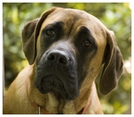 Lovely English Mastiff dog