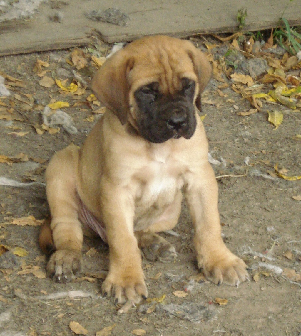 Lovely English Mastiff puppy wallpaper