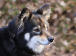 Lovely Finnish Lapphund