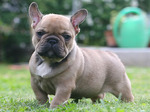 Lovely French Bulldog dog