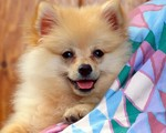 Lovely German Spitz dog