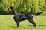 Lovely Gordon Setter dog