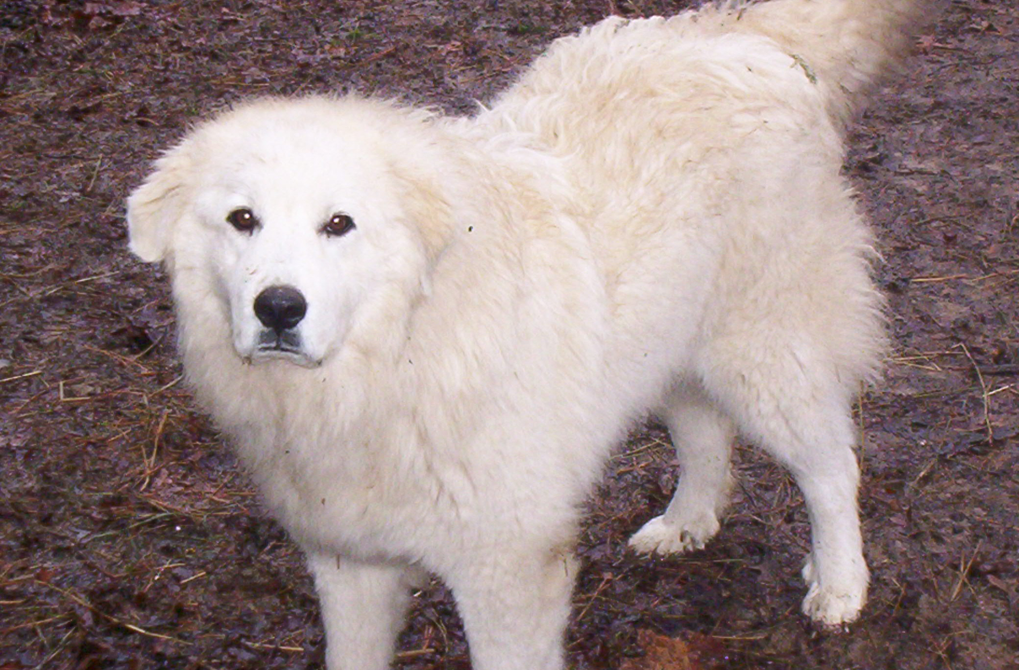 lovely-great-pyrenees-dog-photo.jpg