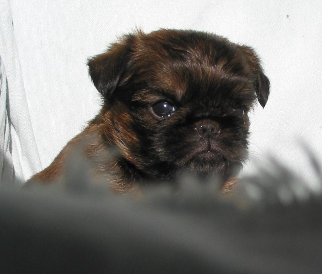 Прекрасный щенок малых бельгийских собак фото