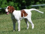 Lovely Irish Red and White Setter dog