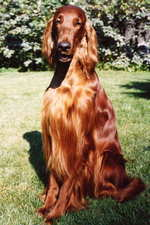 Lovely Irish Setter dog