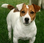 Lovely Jack Russell Terrier dog
