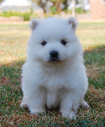 Lovely Japanese Spitz puppy