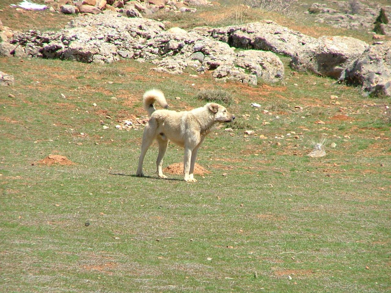 Прекрасная собака кангал фото
