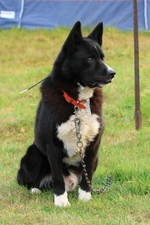 Lovely Karelian Bear Dog