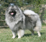 Lovely Keeshond dog