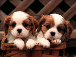 Lovely King Charles Spaniel dogs