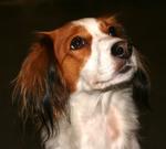 Lovely Kooikerhondje dog