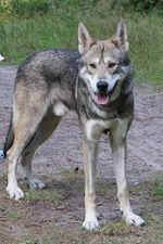 Lovely Kunming Wolfdog
