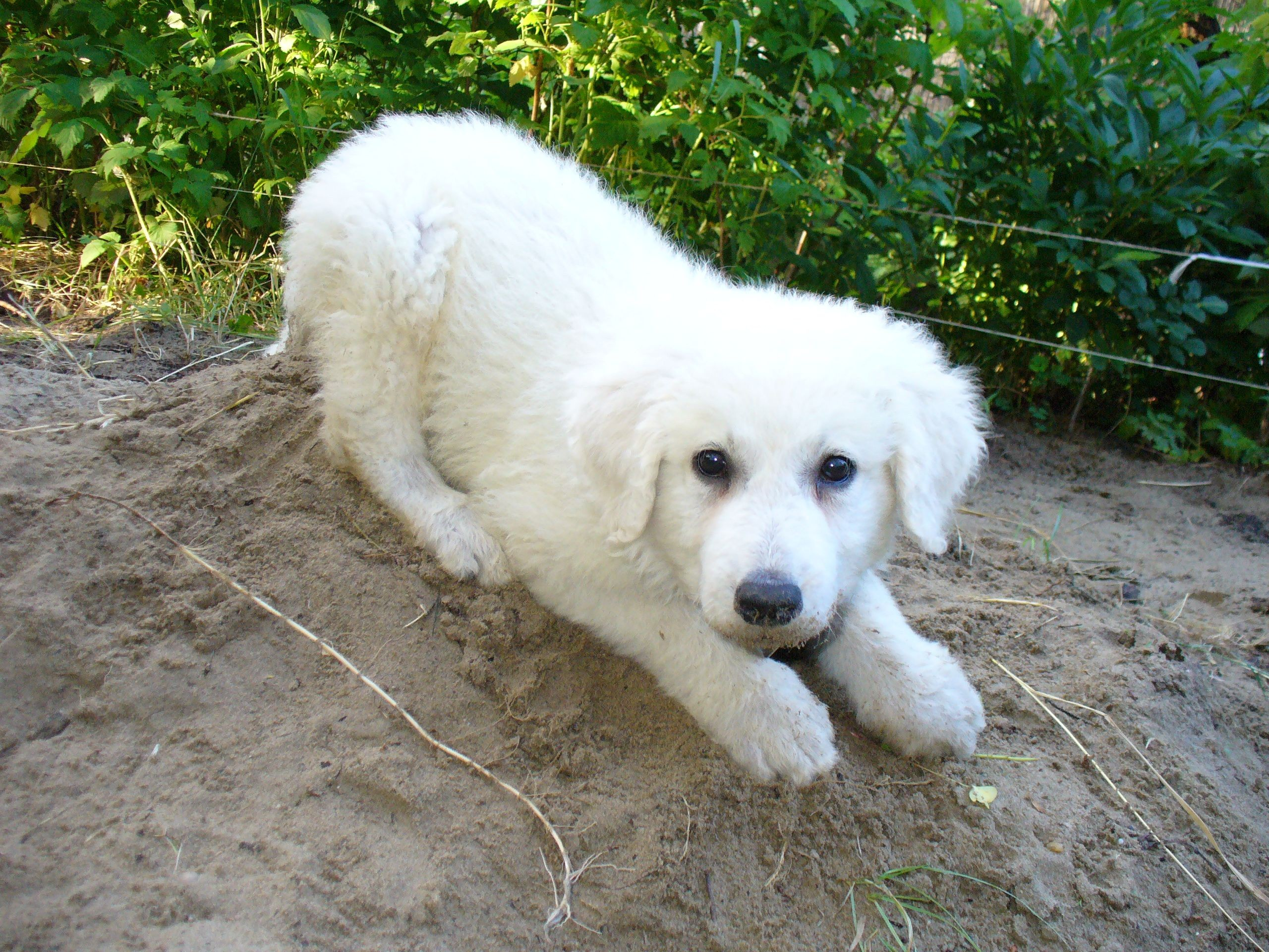 Lovely Kuvasz dog wallpaper