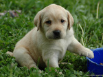 Lovely Labrador Retriever puppy