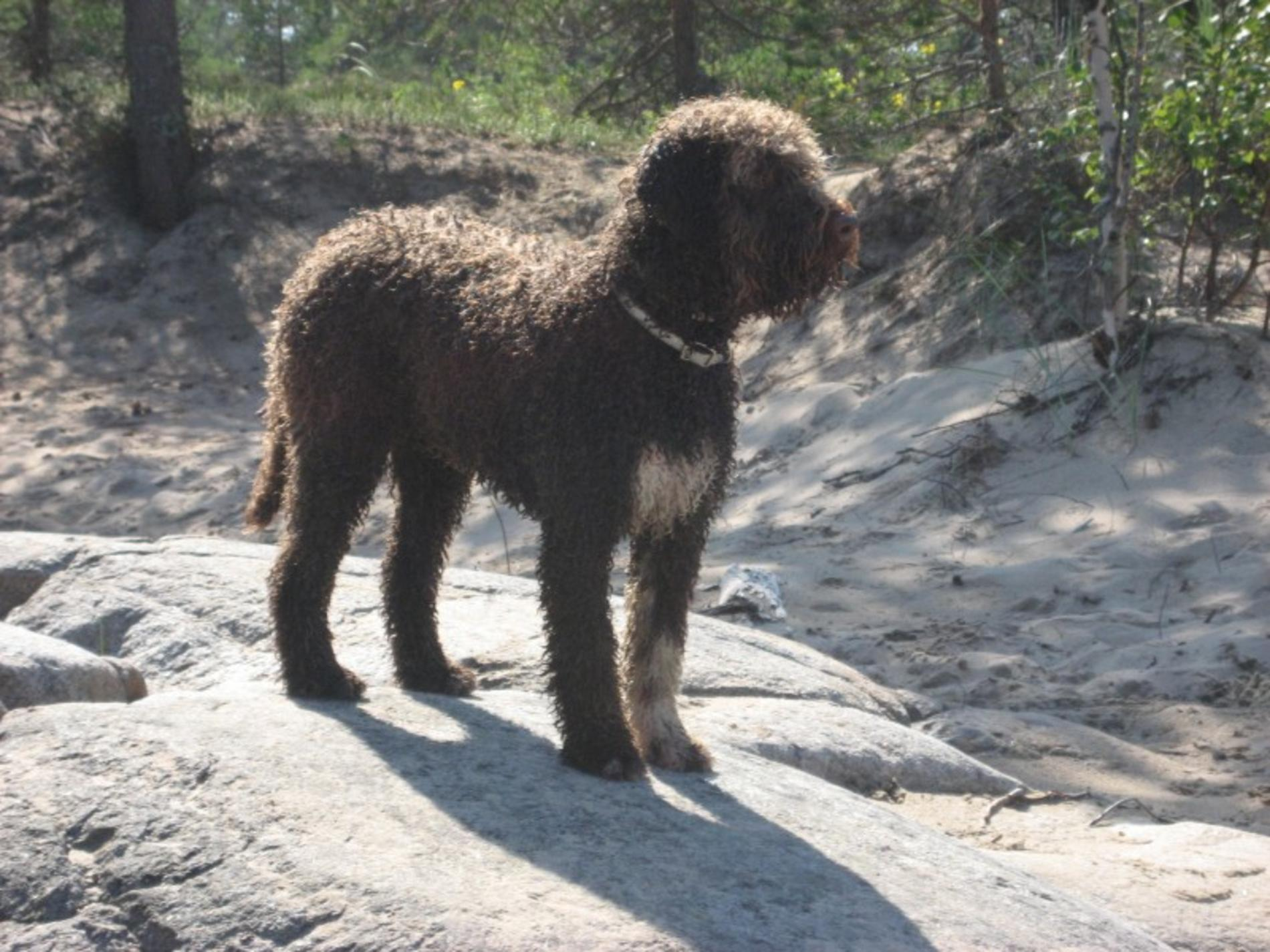 Lovely  Lagotto Romagnolo dog  wallpaper