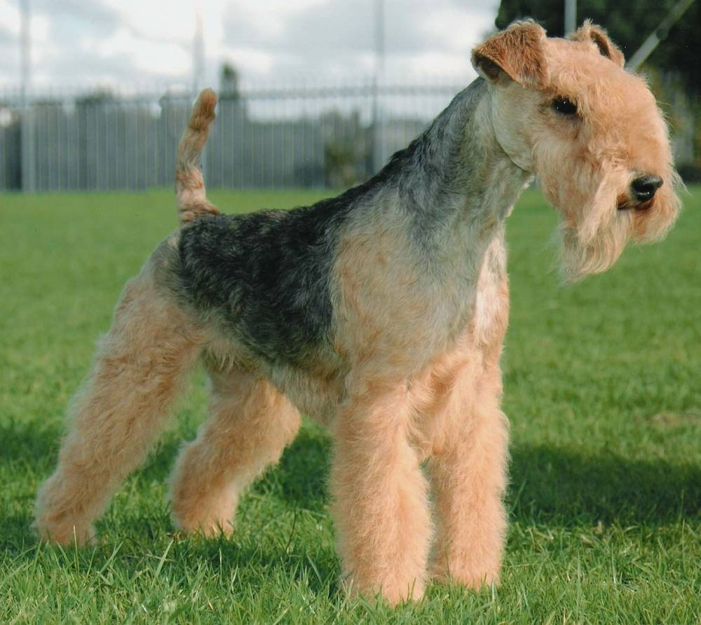Lovely Lakeland Terrier dog wallpaper