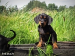 Lovely Lithuanian Hound dog